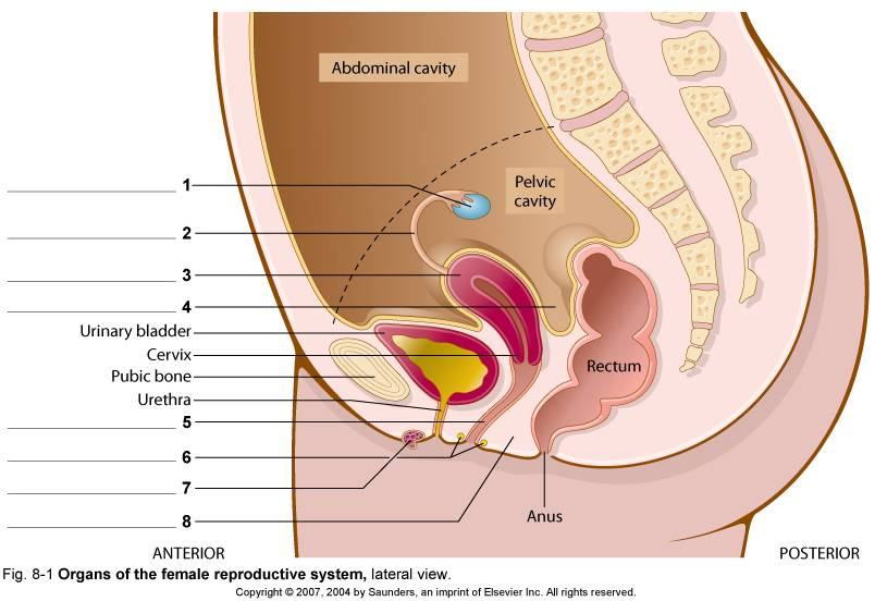 Female Reproductive System Diagram Labeled Stomach Wiring Diagram