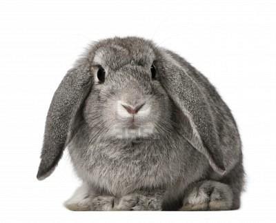 Quia - Rabbit Breed Identification