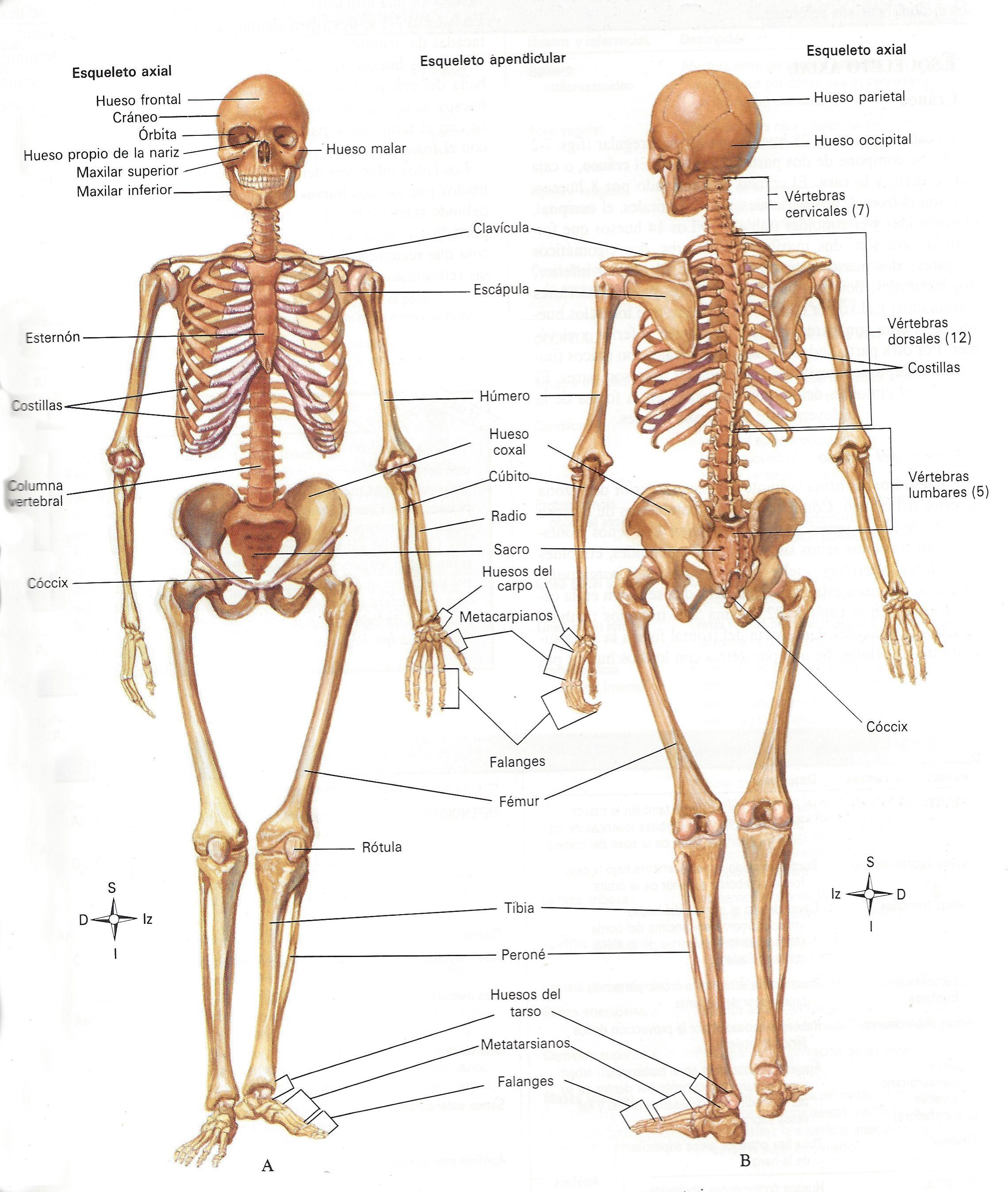 Excepcional Nombres Esqueleto Componente - Anatomía de Las ...