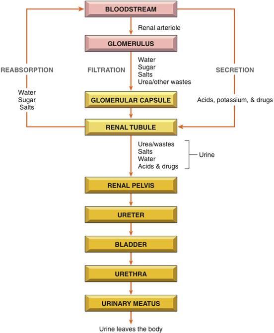Quia - Urinary System Med Term1