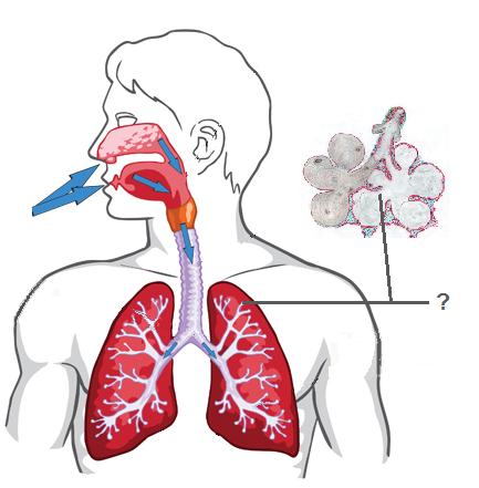 quia respiratory and circulatory system. Black Bedroom Furniture Sets. Home Design Ideas