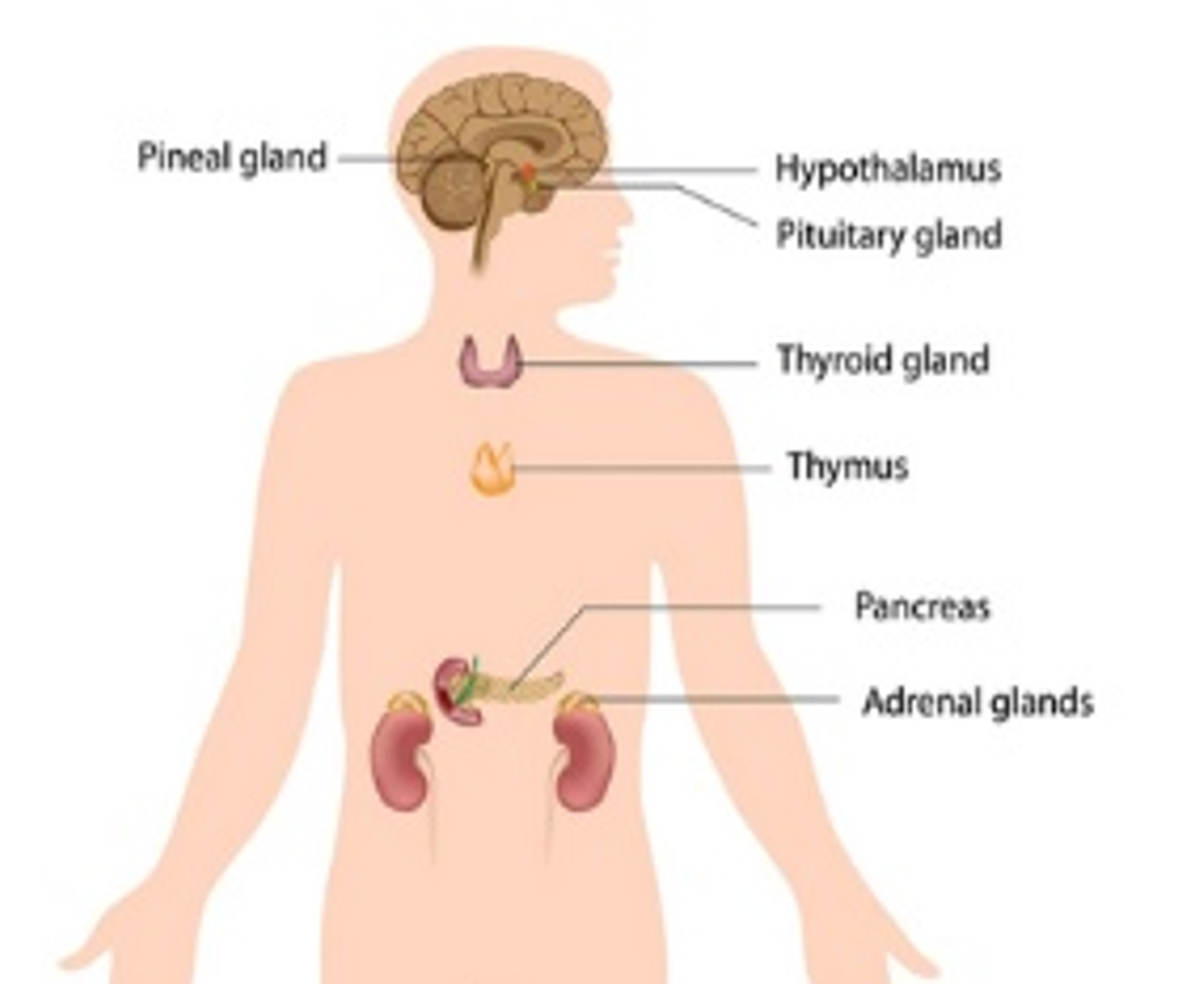 Endocrine System - Pictures, posters, news and videos on your ...