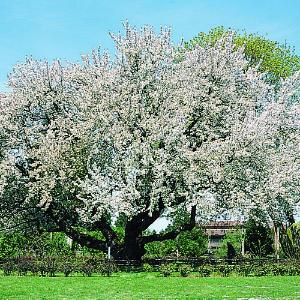 Quia grade 3 author roald dahl - Romanian cherry tree varieties ...