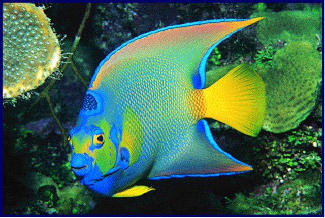 Queen AngelfishQueen Angelfish