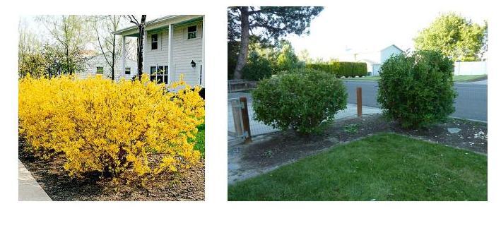 Quia landscape maintenance shrub identification 19 for Landscape bush identification