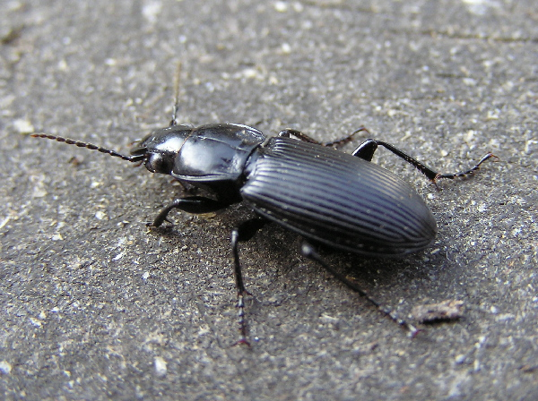 Small  Insects of MN  Black Bug In House. Black And White Bugs In House  universalcouncil info