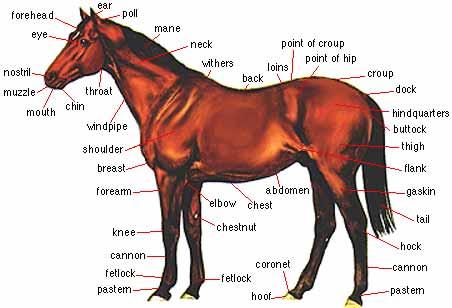 Quia - Class Page - horseanatomy