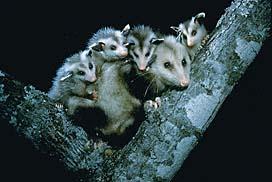 Quia - Pennsylvania Wildlife (Amphibians, Mammals ...