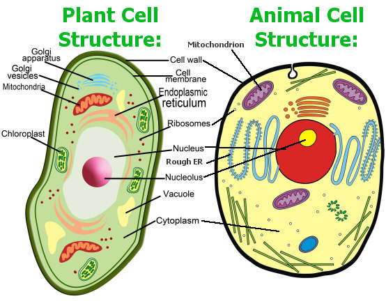 ... - Flashcard and Matching Review: Cell Structures and Their Functions