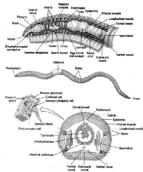 Earthworm External Anatomy