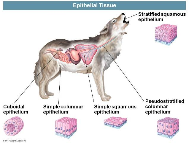 what type of tissue is blood Connective tissue can be broadly subdivided into connective tissue  connective  tissue, adipose tissue, cartilage, bone, and blood.