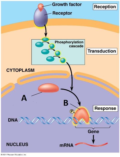 protein testosterone booster