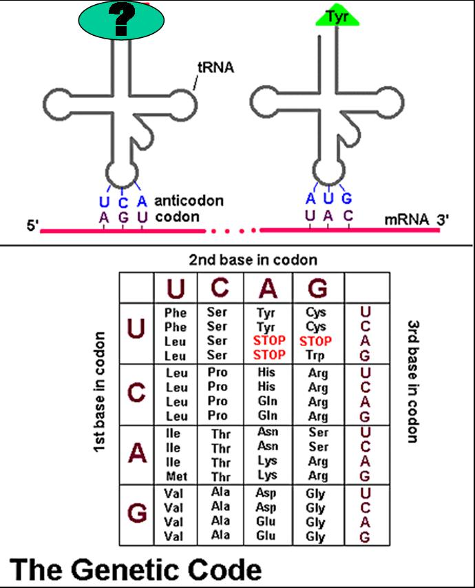 Quia 9ap Chapter 17 From Gene To Protein Detailed