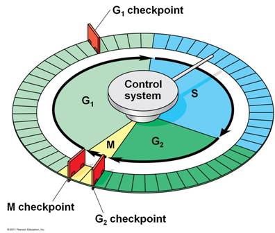 Quia - 9AP Chapter 12 - The Cell Cycle (Detailed)