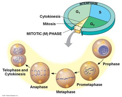Quia 9ap chapter 12 the cell cycle basic interphase is the phase of the cell cycle in between cell division p231 ccuart