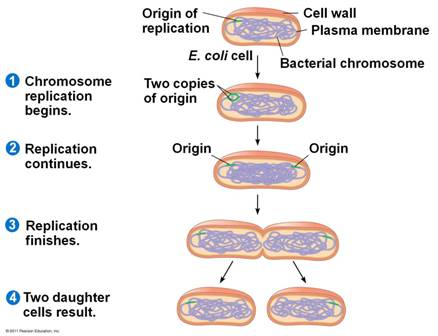 Quia 9ap Chapter 12 The Cell Cycle Detailed