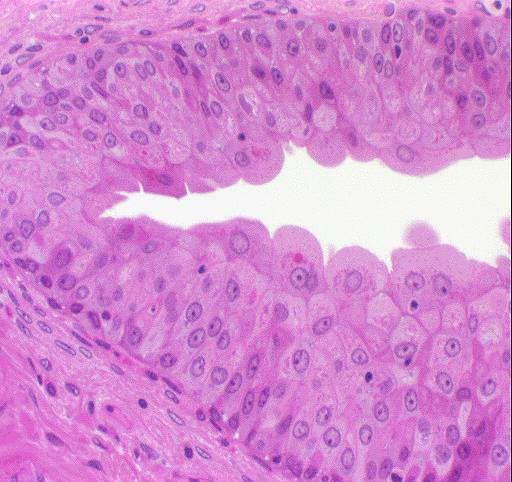 quia epithelial tissues images flashcards first and