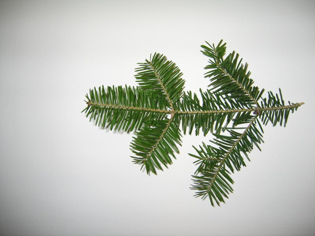 Image result for douglas fir branch
