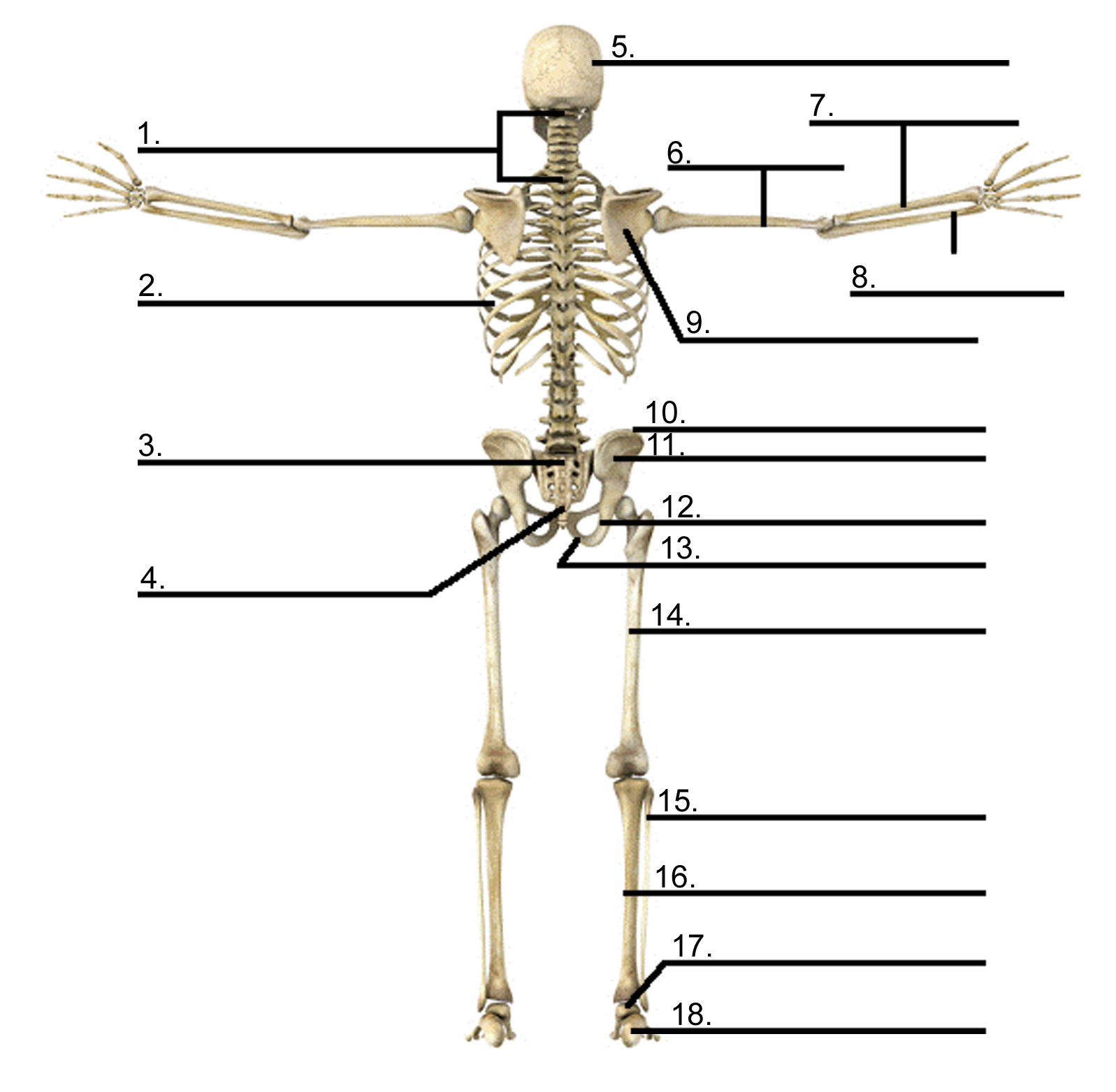 Human Anatomy Bones Games