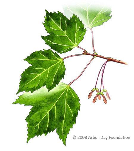 Quia - Tree Identification