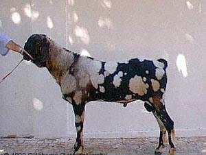 Quia - Goat Breeds
