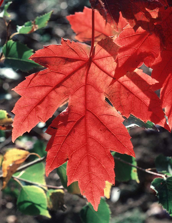 Quia - Chapter 3: Leaf Margins & Venation (Veins)