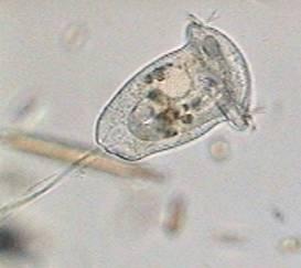 Quia  Protozoa