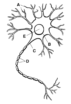 Bio exam proprofs quiz the cell body of a neuron collects information from which structure ccuart Images
