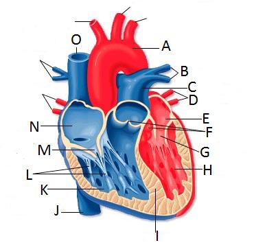 Quia - 2015-01-12 Quiz - PLO JK - Heart Structure