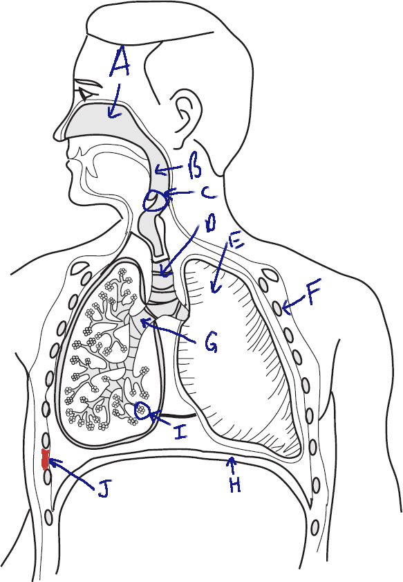 Respiratory System Diagram Without Labels