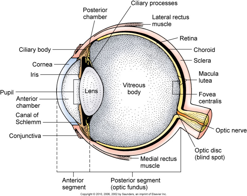 Eye anatomy conjunctiva