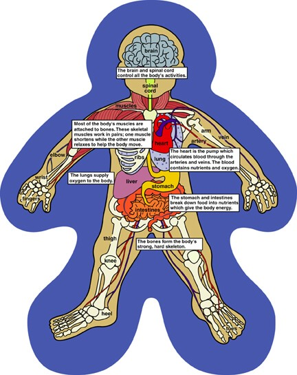 Human body anatomy for kids