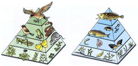 The pyramid of energy in a tundra food chain