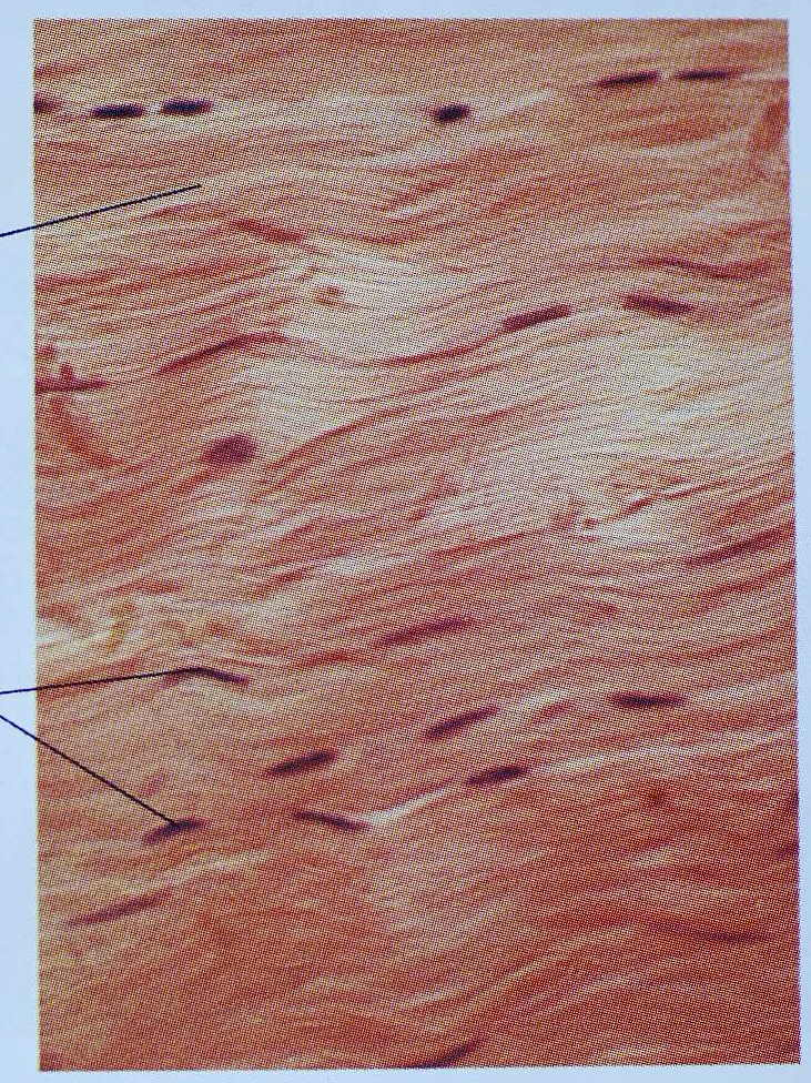Quia - Identify the tissue