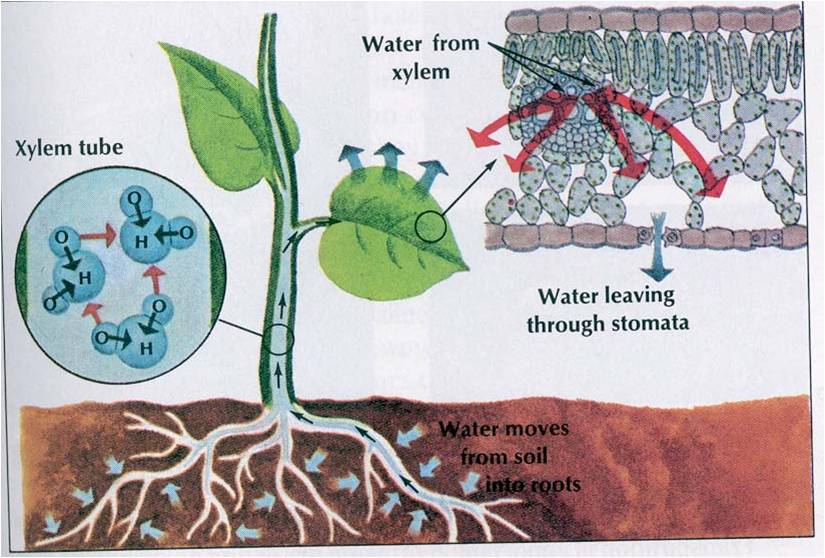 Cells Unit Review - Part 2 - Diffusion, Osmosis, & Turgor ... |Osmosis In Plant Roots