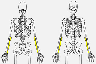 quia - apologia's the human body: fearfully and wonderfully made, Skeleton